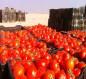 الزراعة: إنتاج طماطم الزبير يغطي حاجة جميع المحافظات