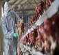 الزراعة تعلن احتواء بؤرة الإصابة بانفلونزا الطيور في صلاح الدين