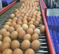 """الزراعة تعلن عن خطط جديدة لدعم السوق المحلية بـ""""بيض المائدة"""""""